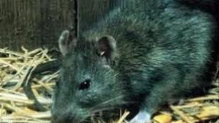 A patkányok mentik meg a Földet?
