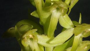 Megtalálták Európa legritkább orchideáját