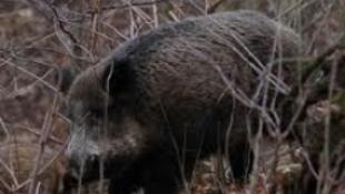 Rejtélyes vaddisznópusztulás Franciaországban