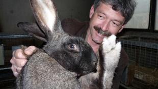 Megmentették a kihalástól a magyar óriásnyulat
