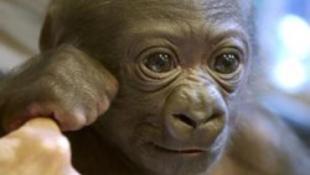 Tragédia: halálra fagytak a gorilla bébik