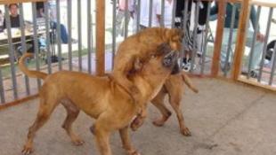 Tiltott kutyaviadalról mentették ki a  súlyosan sérült kutyákat