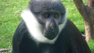 Schmitt kutatás: Az emberszabásúak nem okosabbak más majmoknál