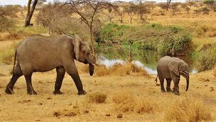 Hét év múlva kihalhatnak az elefántok Tanzániában