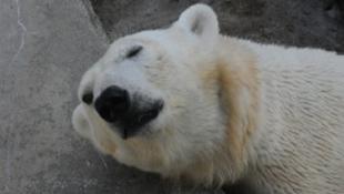 Új jegesmedvelány érkezett Budapestre