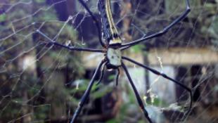 Megtalálták a világ legnagyobb pókját