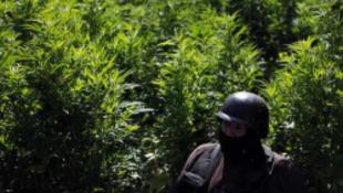 Milliárdos marihuánaültetvényt talált a hadsereg
