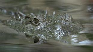Puszta kézzel egy krokodil ellen
