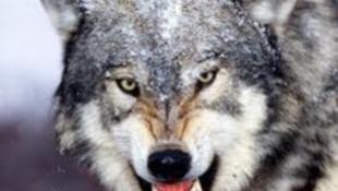 Drága a szlovén farkas