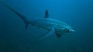 Tisztítóba járnak a cápák