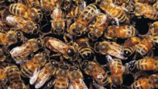 Mikrochippel látják el a méheket