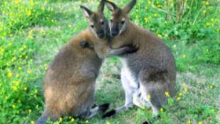 Betépett kengurufélék okozták a rejtélyes gabonaköröket