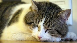 Anglia kedvenc politikusa egy macska