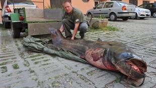 113 kilós harcsát fogott ki egy kaposvári horgász