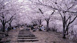 Japánban már virágzik a cseresznye