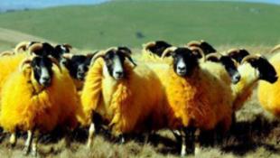 Narancssárga bárányok lepték el Devon legelőit