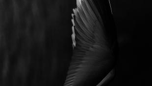 Fekete-fehér madár zuhant át a légtéren