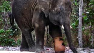 Új műlábat kapott az elefánt (videóval)