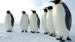 Hazatért a világutazó pingvin