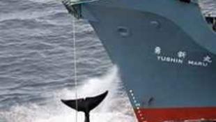 Bálnaháború: japán fogságban a bálnavédő