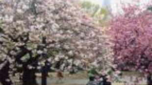 Japán módra ünnepelnek a Füvészkertben