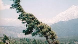 A fenyőfa százmillió éve ugyanolyan