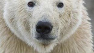 Óvszerrel mentik a jegesmacikat