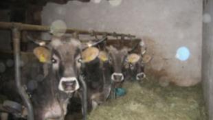 Meghülyült a tejtől egy osztrák paraszt