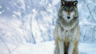Kiderült, miért hullanak a farkasok