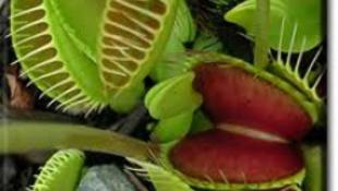 Ragadozó növények Nyíregyházán