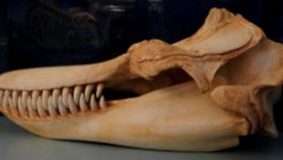 A delfin már harmadszor gyilkolt, most az idomárt
