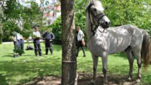 Szexelő pár miatt megzavarodott ló drámai futása Kecskeméten