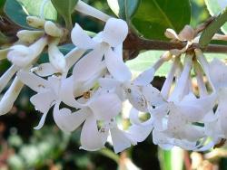 Az Osmanthus Fragans virága
