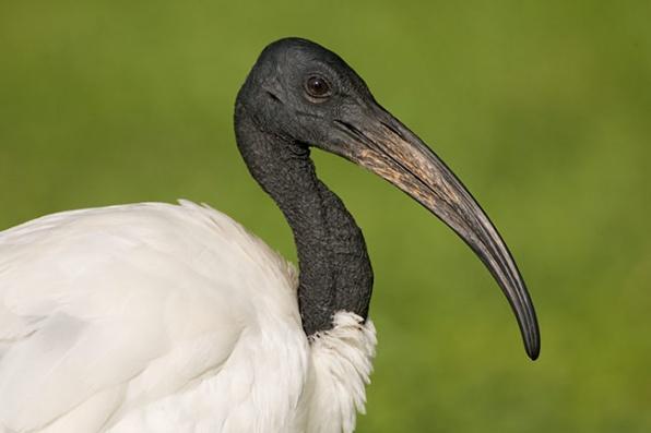 A Szent Íbisz. (fotó: birdsasart.com)