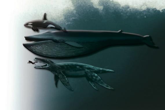 A ma élő legnagyobb ragadozó, a gyilkos bálna, a kék bálna, a Plioszaurusz funkei és egy ember méretarányos képe