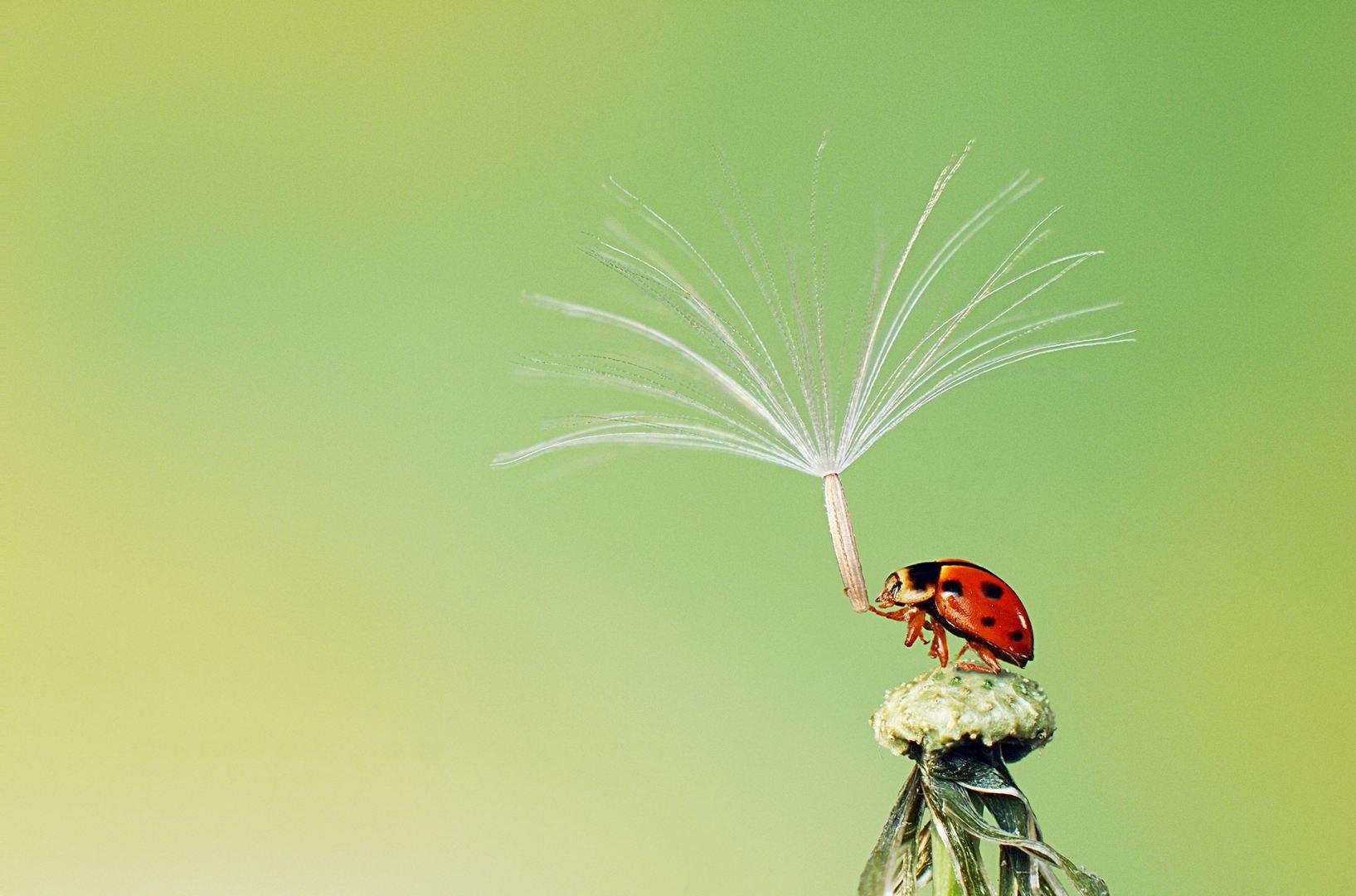 Az utolsó szál pollent tartó katica (Fotó: Hoang Hiep Nguyen)