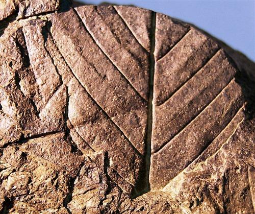 A másik felfedezés: délibükkfa-levél (Fotó: Hirado.hu/EPA/Chilei Antarktiszi Intézet)