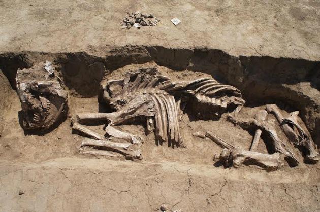 Ló csontváz a temetőből