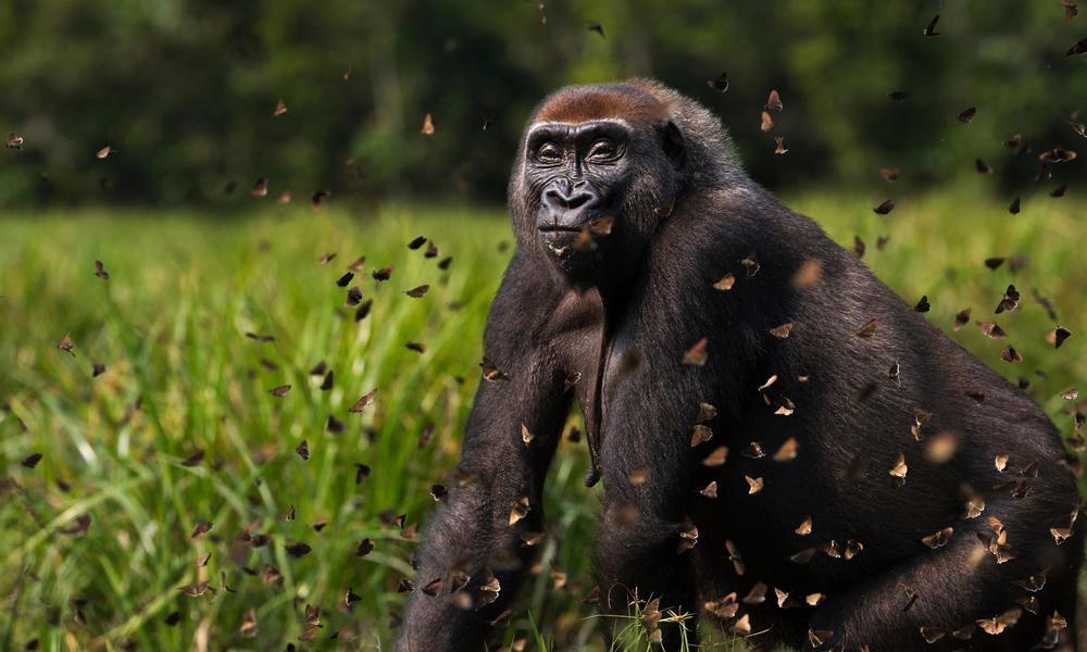 Fotó: © naturepl.com / Anup Shah / WWF
