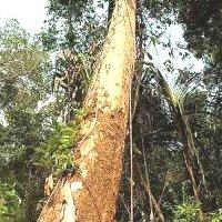 Védett fákat vágtak ki, de már nagyon bánják