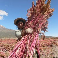 Nyomorba dönt a quinoa?