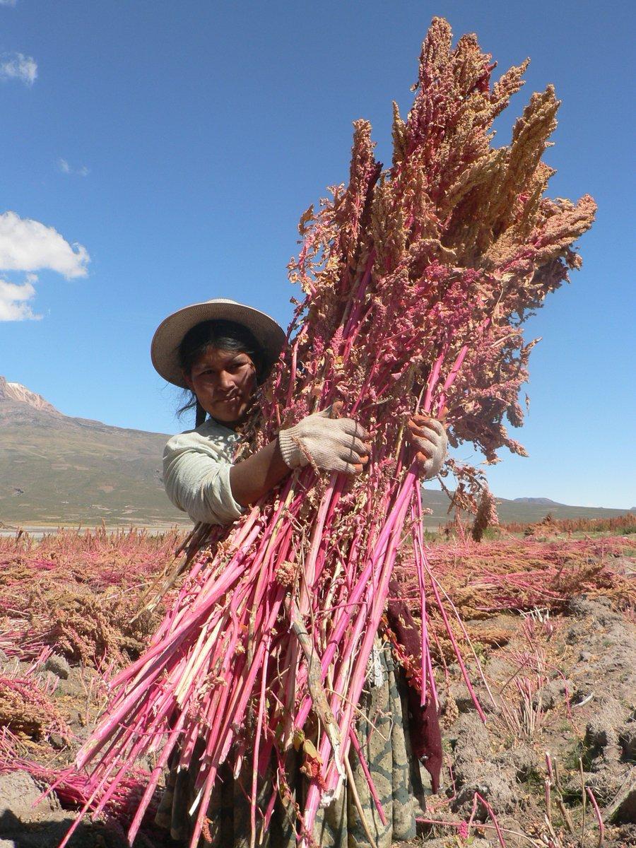 Productrice-récolte-de-quinoa-rouge-1.jpg