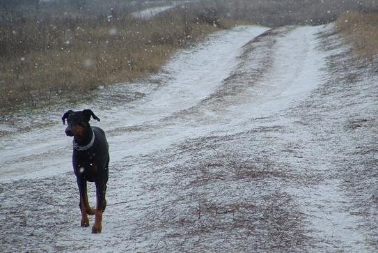 dobermann havas úton sétál