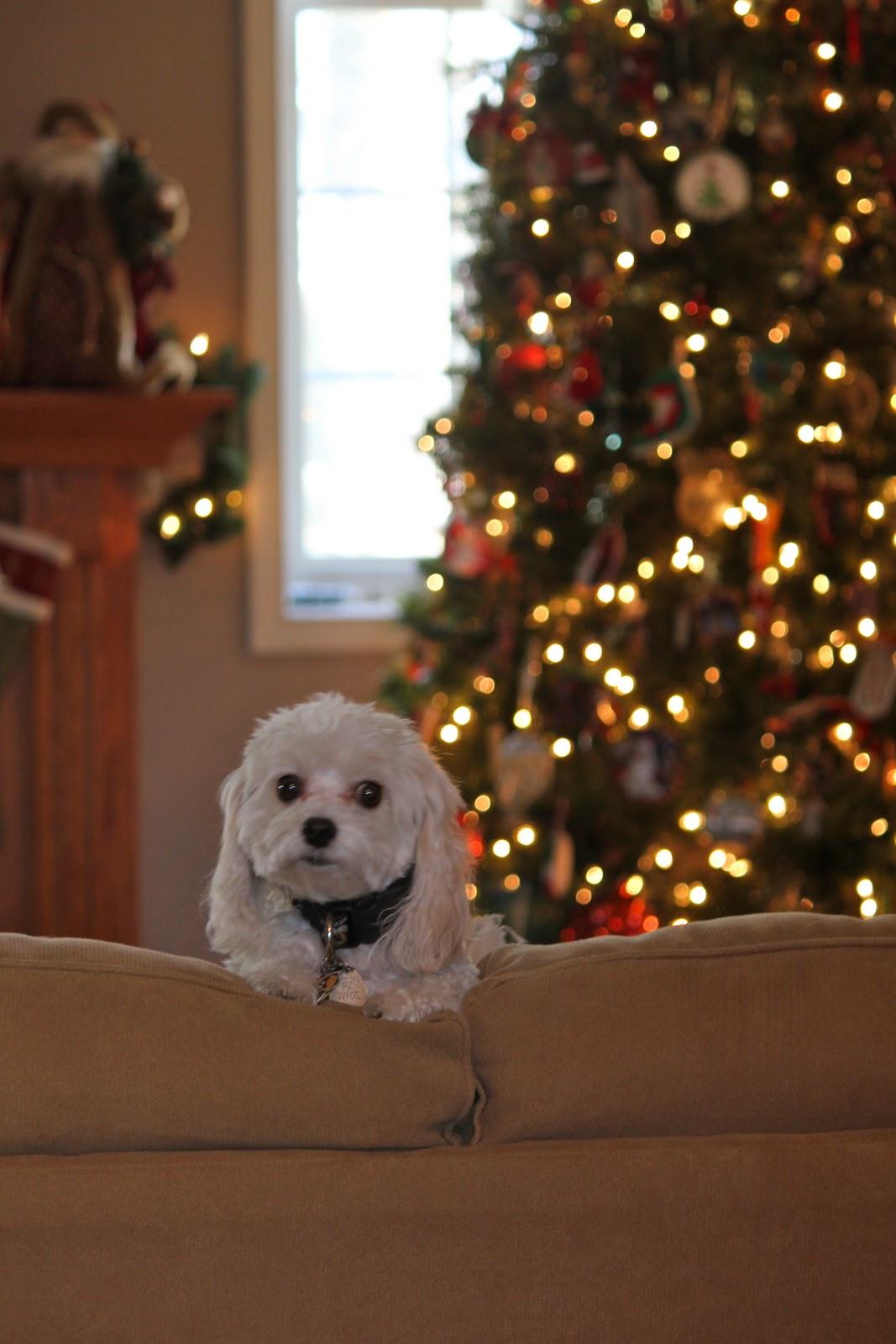 kis fehér kutya les ki a kanapé támlája mögül, a háttérben karácsonyfa