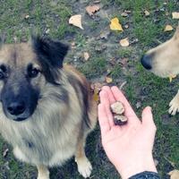 Szarvasgombász kutyát szeretnék! Triflakutya képzés egyszerűen I.