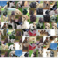 Labrador képek
