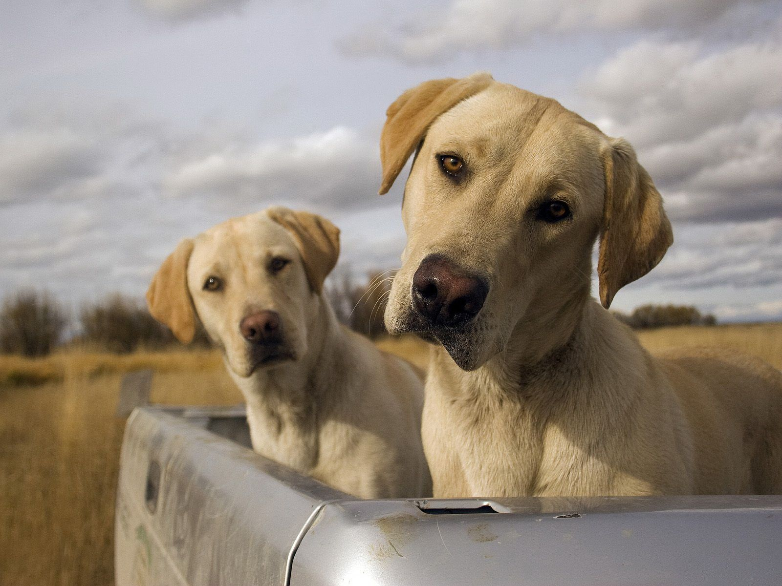 labradors-listen-pics-dogs-pickup.jpg
