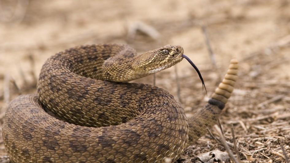 rattlesnake-tongue_jpg_adapt_945_1.jpg