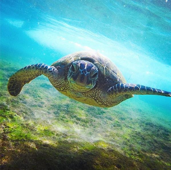 kíváncsi teknős Oahu Hawaii.png