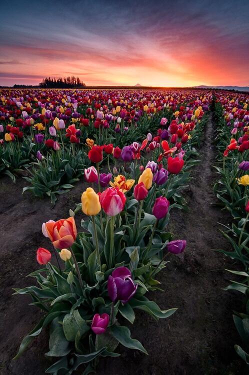 tavaszi tulipánok, Woodburn Oregon.jpg